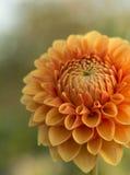 Апельсин георгина цветка Стоковые Изображения