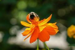 Апельсин, желтый цветок поля с пчелой Стоковое Изображение RF