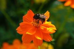 Апельсин, желтый цветок поля с пчелой Стоковые Изображения RF