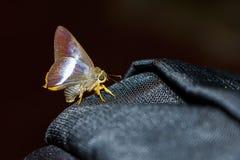 Апельсин-замкнутая бабочка шила Стоковая Фотография