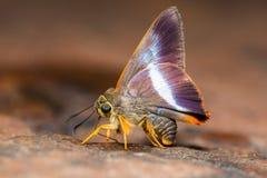 Апельсин-замкнутая бабочка шила Стоковое Фото