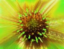 Апельсин-зеленый цветок на запачканной предпосылке closeup Меховой красный центр Pistils вставляя вне как иглы Для конструкции Стоковые Фото