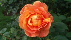 Апельсин злющий Стоковая Фотография