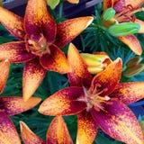 Апельсин лилии цветка ботанический Стоковые Фото