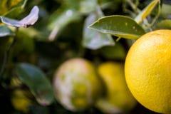 Апельсин крупного плана Стоковые Изображения RF