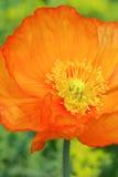 Апельсин мака Исландии Стоковое Изображение