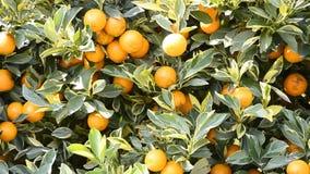 Апельсин на дереве в заводе сада акции видеоматериалы