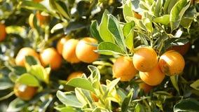 Апельсин на дереве в заводе сада видеоматериал