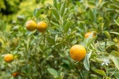 Апельсин на дереве в саде Стоковое фото RF
