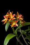 Апельсин орхидеи Стоковая Фотография RF
