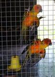 Апельсин попугая в клетке Стоковые Фотографии RF