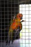 Апельсин попугая в клетке Стоковая Фотография