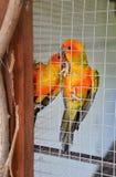 Апельсин попугая в клетке Стоковые Фото