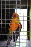 Апельсин попугая в клетке Стоковое фото RF
