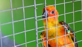 Апельсин попугая в клетке Стоковое Фото