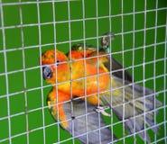 Апельсин попугая в клетке Стоковые Изображения RF