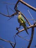 Апельсин противостоял длиннохвостый попугая на ветви Стоковое Фото