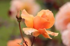 Апельсин Роза Стоковое Фото