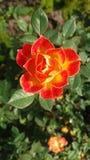 Апельсин цветения Стоковое Изображение RF