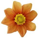 Апельсин цветка георгина, белизна изолировал предпосылку с путем клиппирования closeup Отсутствие теней Для конструкции 8 лепестк Стоковое Изображение