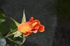 Апельсин цветка розовый Стоковые Изображения