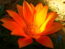 Апельсин цветка Butefull симпатичный милый Стоковая Фотография