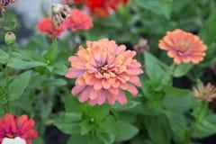 Апельсин цветка Zinnia Стоковая Фотография