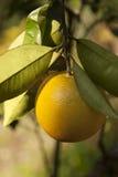 Апельсин Стоковое Изображение RF