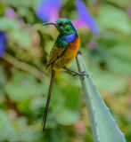 Апельсин-breasted Sunbird (violacea Anthobaphes) Стоковые Изображения