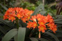 Апельсин miniata Clivia стоковая фотография