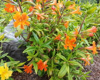 Апельсин Monkeyflower желейных бобов стоковые изображения rf