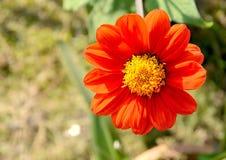 Апельсин Zinnia Стоковая Фотография RF