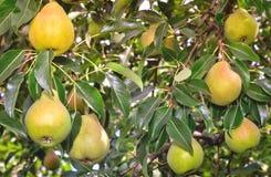 Аппетитные зрелые груши на ветви дерева Стоковые Изображения