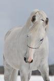 арабская белизна лошади Стоковое фото RF