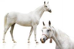 арабская изолированная лошадь Стоковые Фотографии RF