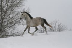 Арабская лошадь на холме наклона снега в зиме На заднем плане деревья стоковые фото