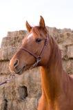 арабская лошадь Стоковые Изображения RF