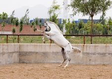 арабская лошадь Стоковое Фото