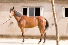 арабская лошадь Стоковые Фото