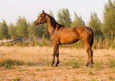 арабская лошадь Стоковое фото RF