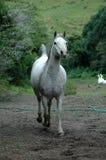 арабская лошадь Стоковые Изображения