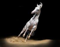 арабская черная лошадь Стоковое Изображение RF