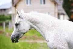 арабский purebred лошади Стоковая Фотография