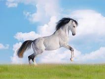 арабское поле освобождает лошадь Стоковая Фотография RF