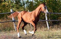 арабское budenovskaya breed Стоковая Фотография RF