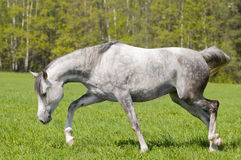 араб освобождает лошадь Стоковые Фотографии RF