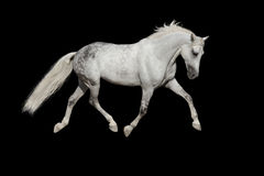 аравийская белизна лошади Стоковые Изображения