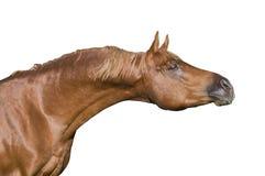 аравийская изолированная лошадь Стоковая Фотография
