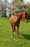 Аравийская лошадь на выгоне, естественная лошадь, красивая голова лошади Стоковое фото RF