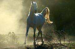 аравийская лошадь стоковое изображение rf